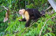 MONKEY, Visit to Monkey Island and Embera Community from Gamboa Public Pier