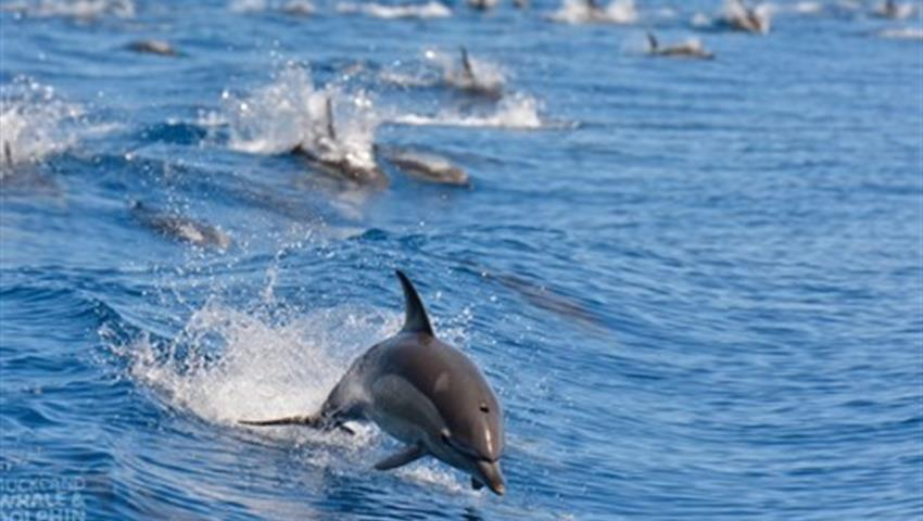 dolphin tiqy, Whale and Dolphin Safari