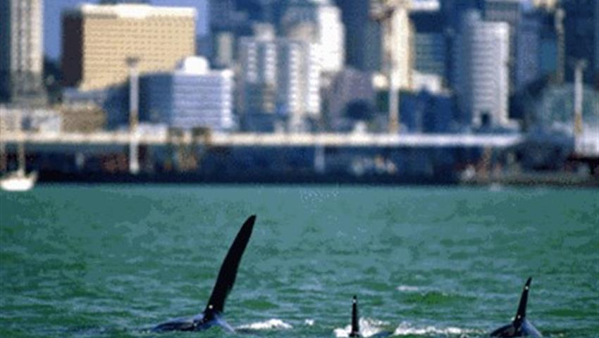 city view dolphin, Whale and Dolphin Safari