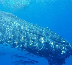 Whale Swim and Watch , Wildlife Experiences in Australia