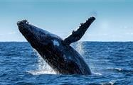 """A Humpback Whale saying """"hello there"""", Whale Watching in Boca Chica"""