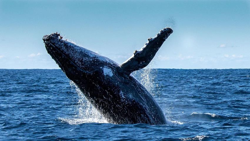 "A Humpback Whale saying ""hello there"", Whale Watching in Boca Chica"
