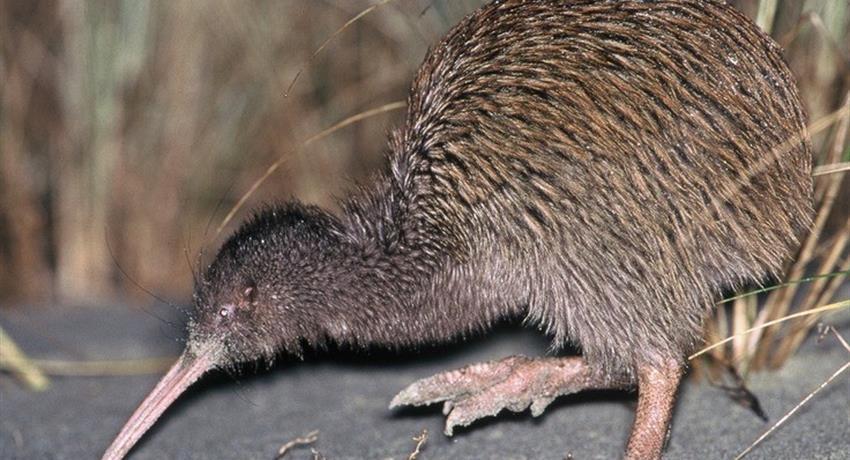 kiwi tiqy, Wild Kiwi Encounter
