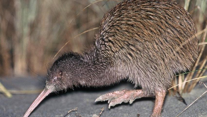 kiwi tiqy, Wild Kiwi Encounter