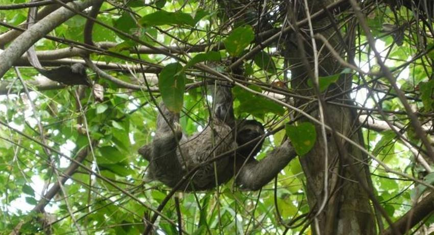 sloth in the trees - tiqy, Snorkeling in Cahuita Coral Reef