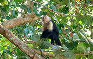 cappuccino monkey in the trees - tiqy, Snorkeling in Cahuita Coral Reef