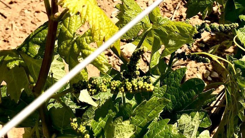 vineyard in Ribera del Duero - tiqy, Tour de Vinos en Ribera del Duero