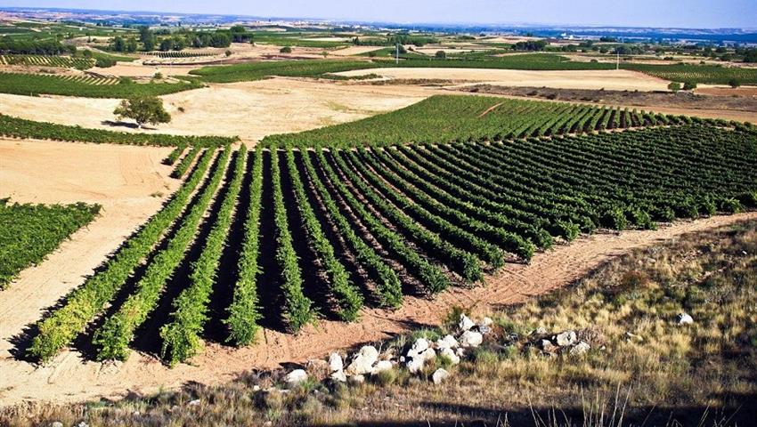 field of grapes in centenary winery - tiqy, Winery Route to Ribera del Duero