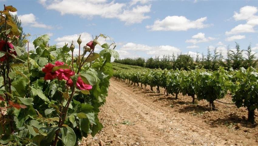 beautiful field of grape - tiqy, Winery Route to Ribera del Duero